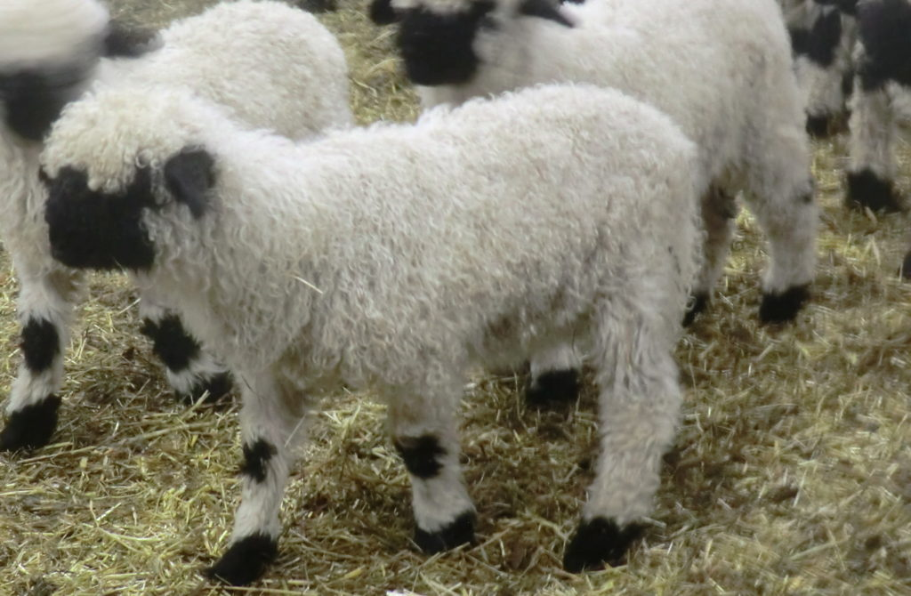Valais Black Nose Sheep