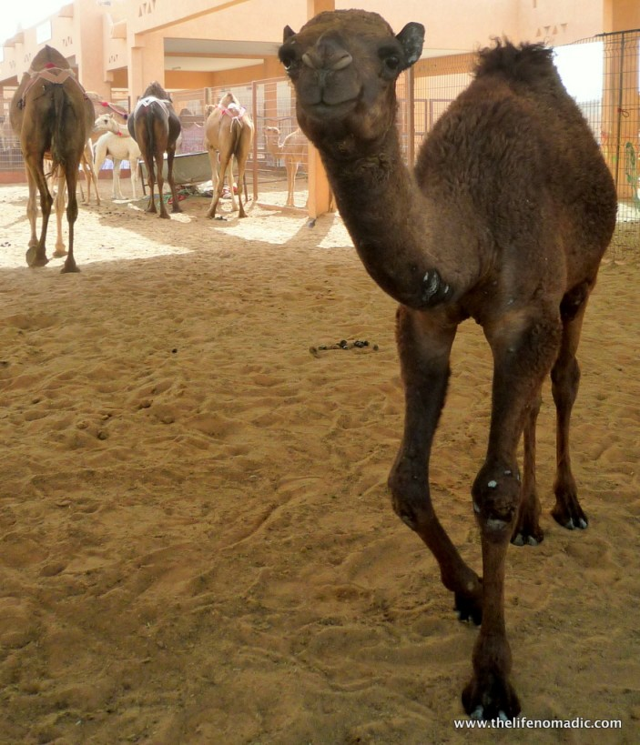 Cute camel at the market.