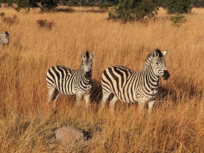 Africa - Zimbabwe - Imire Game Park - zebras