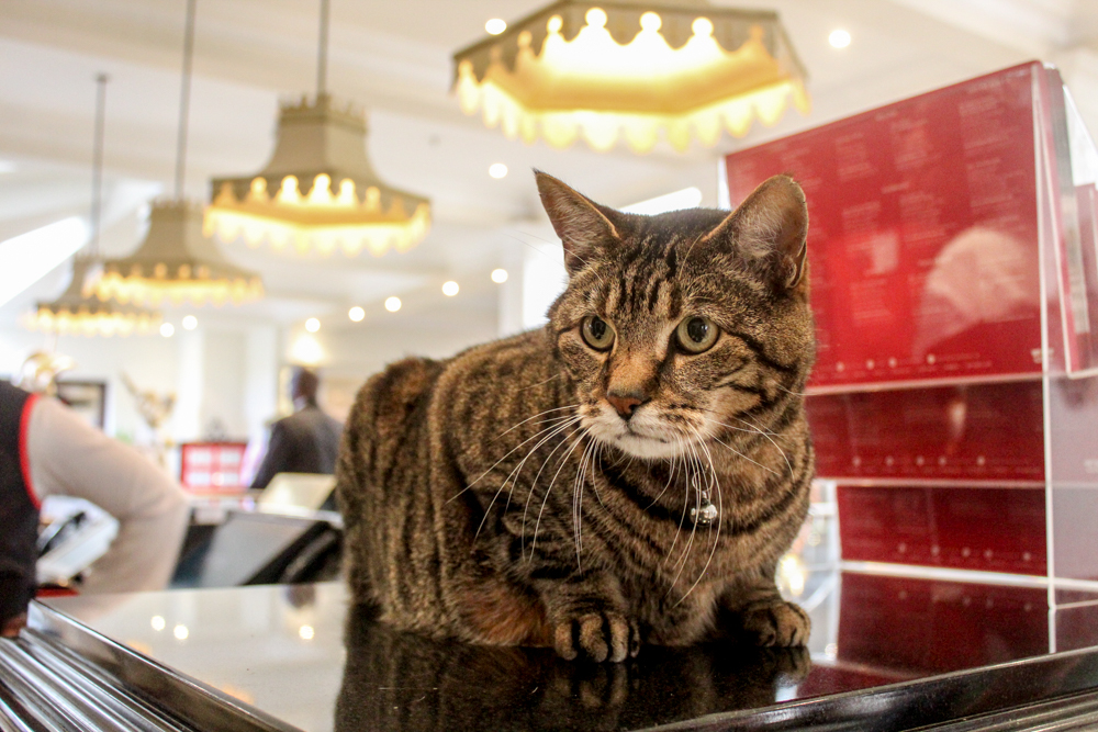 Oyster Box Hotel cat - Durban - South Africa