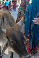 The streets of India: passing by women in colored saris and cows..