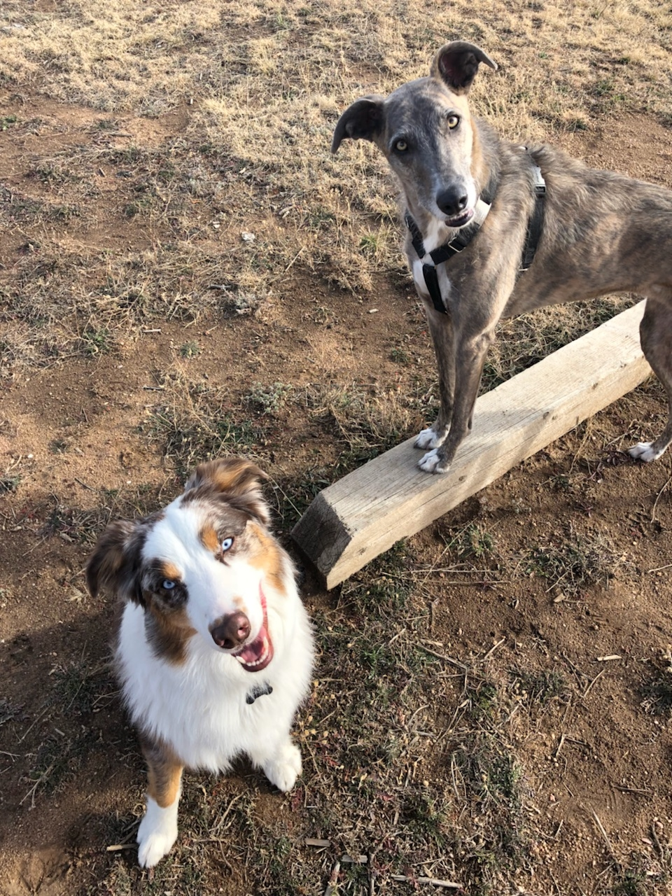 Testing off-leash readiness with your dog