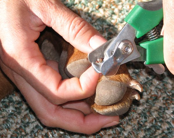 Taking care of your dog's ears, teeth and nails