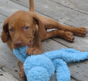 Romeo at 8 weeks, when we first brought him home, not yet an adolescent dog