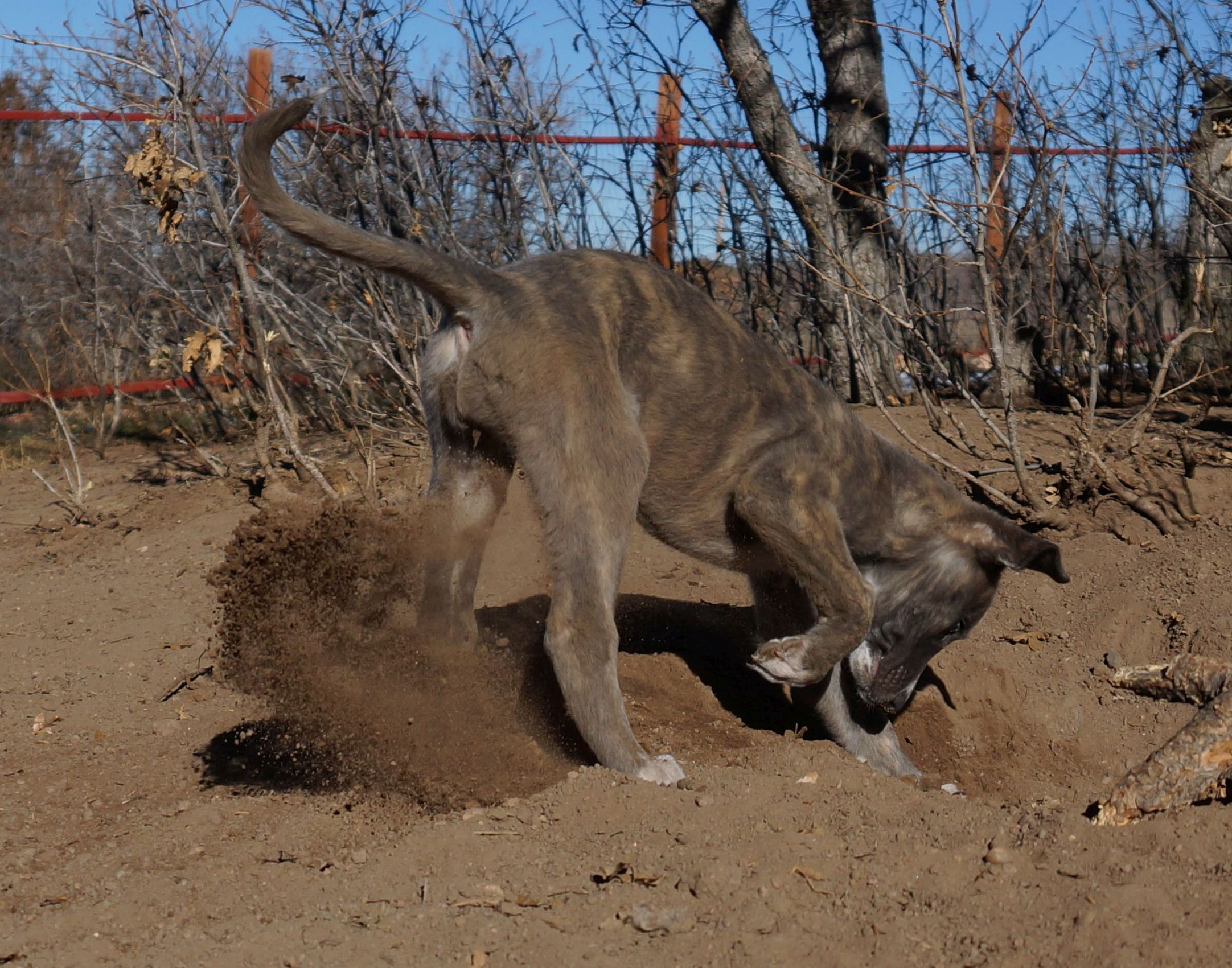 Is your dog burying a bone or other objects?