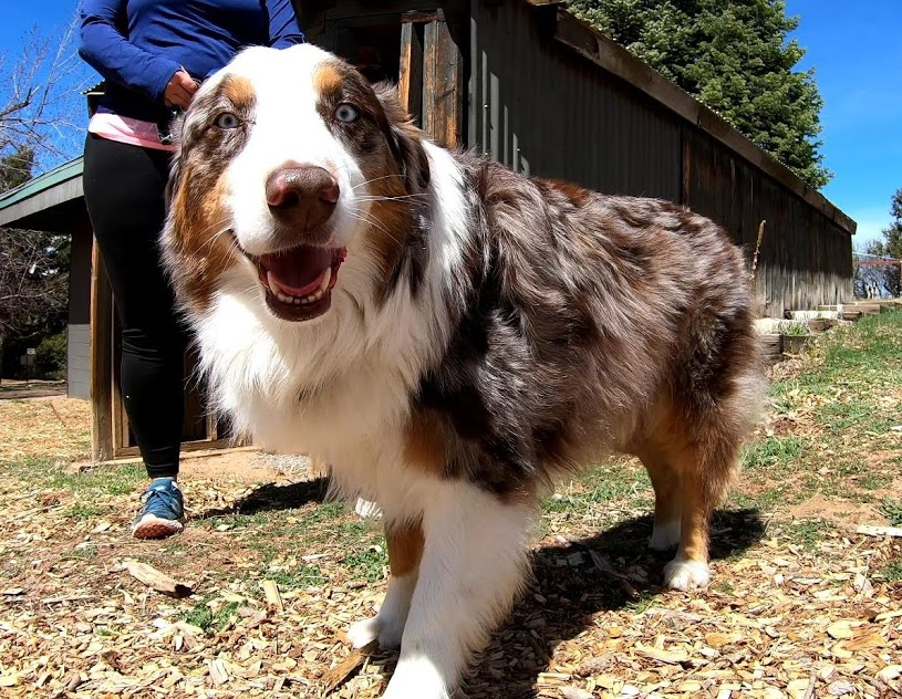 Meet Fraser, an Australian Shepherd