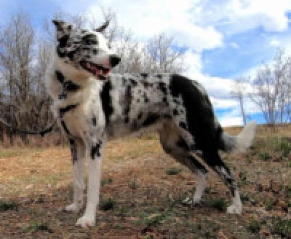 "Meet Winnie, a ""Bossie"" (that's Border Collie & Australian Shepherd)"