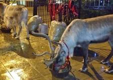 reindeer_lincoln