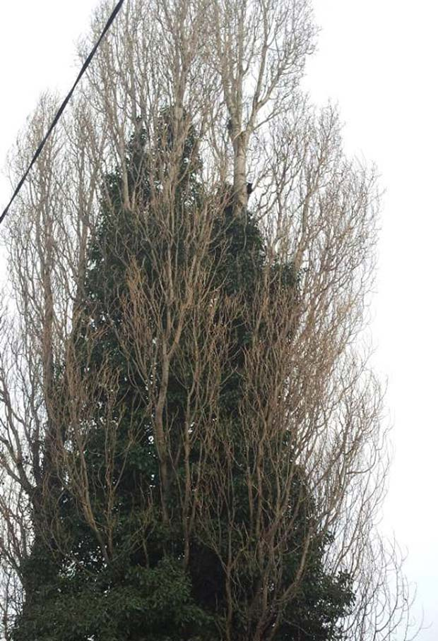 The cat was stuck up a tree around 40ft tall. Photo: Natalie Davison