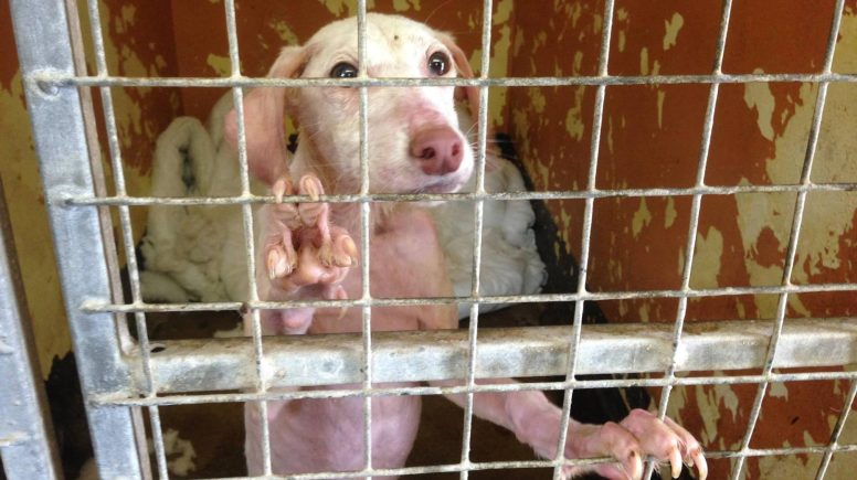 The dogs are all suffering from a condition called mange. Photo: RSPCA Lincolnshire and Mid Lincoln