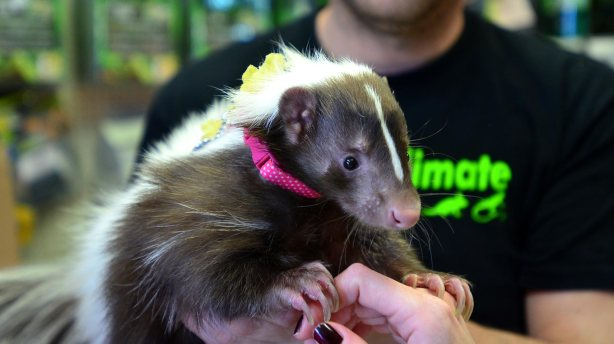 Lily the skunk. Photo: Steve Smailes for The Lincolnite