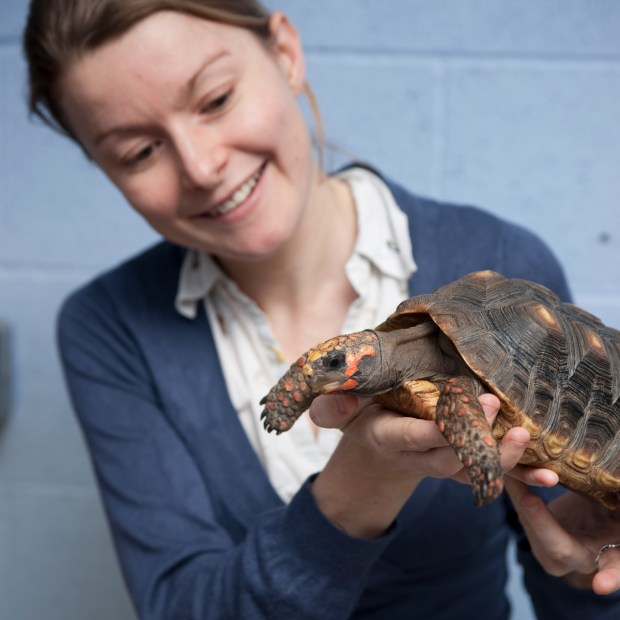 Dr Anna Wilkinson of the School of Life Sciences with one of the tortoises. Photo: UoL