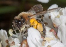 The Andrena nitida has not been spotted in Lincolnshire since 1900.