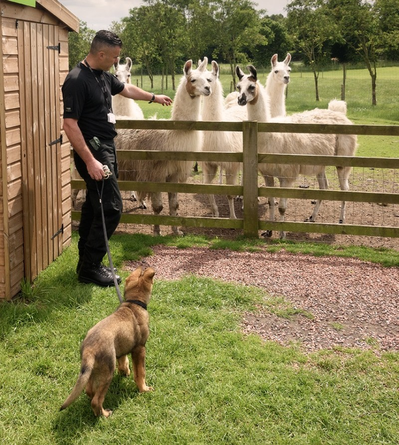 PC Jon Peacock takes Olly alpaca training - a good way to met new and unusual friends.