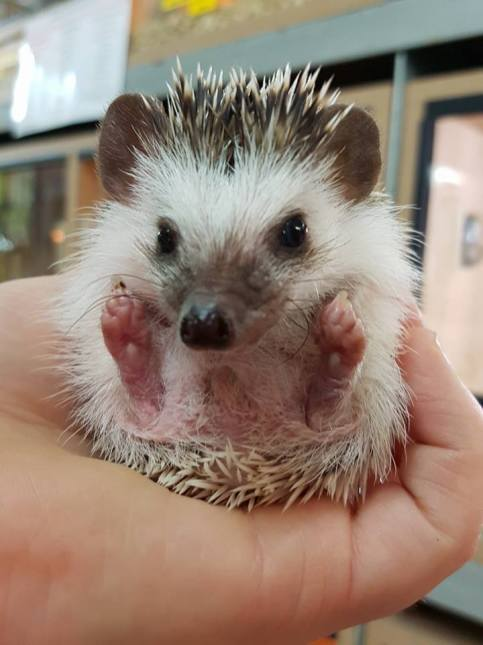 Baby African pygmy hedgehog. Photo: Lincoln Reptile and Pet Centre