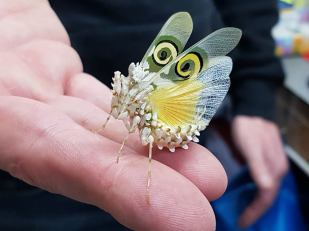 Spiny flower mantis. Photo: Lincoln Reptile and Pet Centre