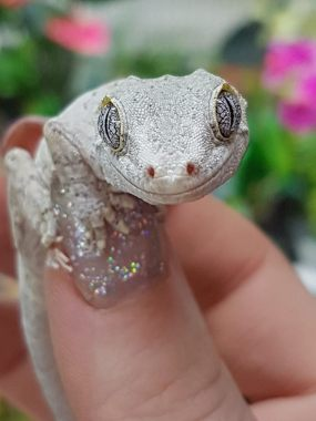 Gargoyle Gecko. Photo: Lincoln Reptile and Pet Centre