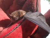 Lucky bat's miraculous escape after fishing wire mishap in Lincoln