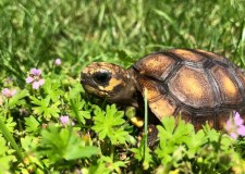 Tortoise 'Psychic Shelly' predicts England v Tunisia