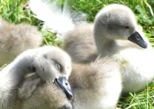 Adorable new cygnets swan along the Brayford