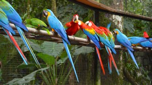 Macaws at the Parke Das Aves (bird sanctuary) in Brazil.