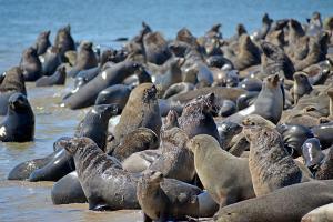 Seal in Walvis Bay on the Atlantic Coast, Namibia.