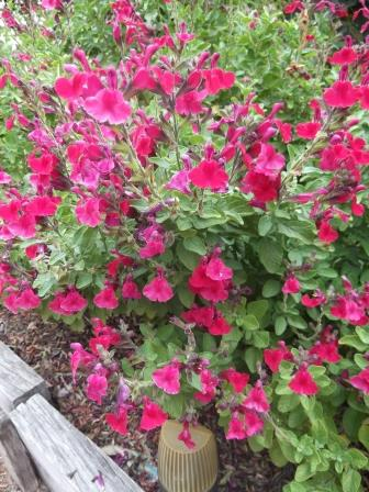 Salvia Plants Easy Summer Colour for Your Garden  The Links Site