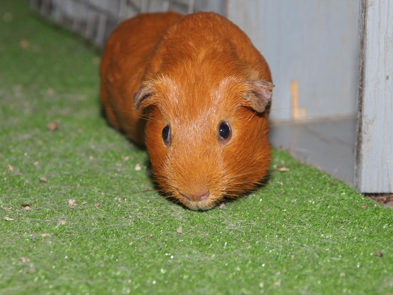 Results 4 H Ffa Cavy Guinea Pig Show