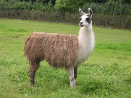 Llama needed, preferably not played by a llama.