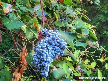 Canyon Grapes
