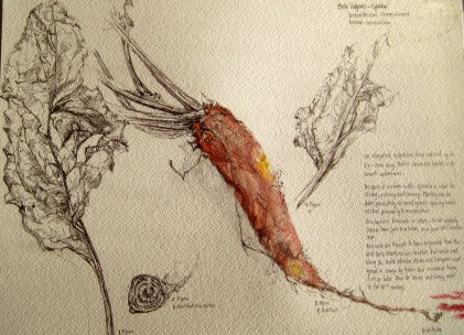 A botanical Illustration of a beet. Pencils, Pen, watercoulor, on watercolor paper. 9 in x 12in Original 75$, print 35$