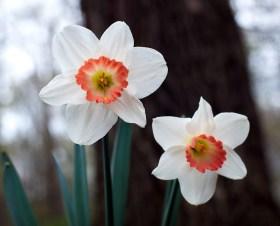 Daffodils, 2013