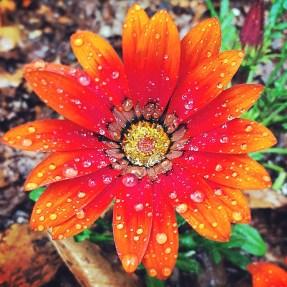 Gazania Flower in my garden (5/22/14)