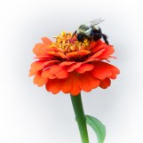 Bee on a Zinnia (8/10/14)