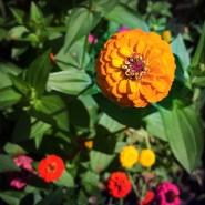 Orange Zinnia (9/22/14)