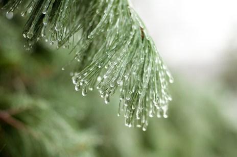 1532-frozen-pine-needles