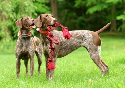Pair o' Pointers (This photo earned Bella & Piper a spot in the 2017 PureBread Pups Calendar!)