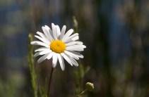 577 Daisy