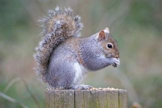 Non-native Grey Squirrel