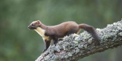 BF2CAN Pine Marten (Martes martes), young female on alder branch.