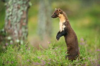pine-marten-in-forest-terry-whittaker-2020vision