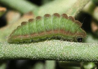 Holly Blue Caterpillar