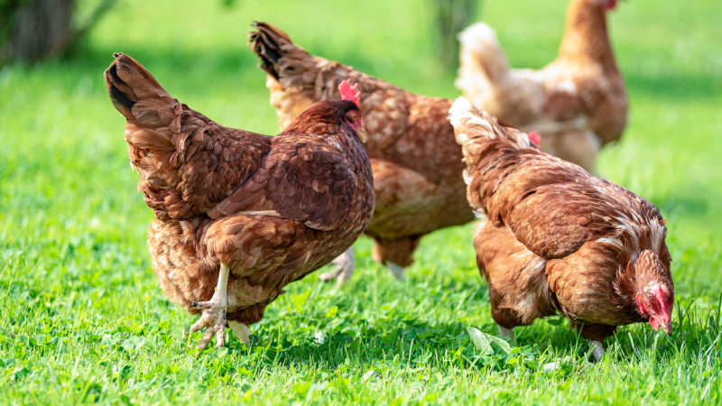 French and UK Hen Charities Band Together