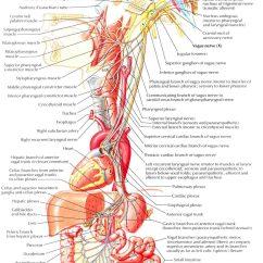 Vagus Nerve Diagram Pioneer Cd Player Wiring Cranial X Pneumogastric Tenth