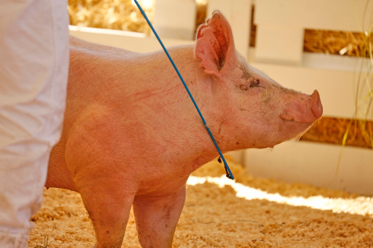 Pigs at Fowlerville Fair test positive for swine flu —