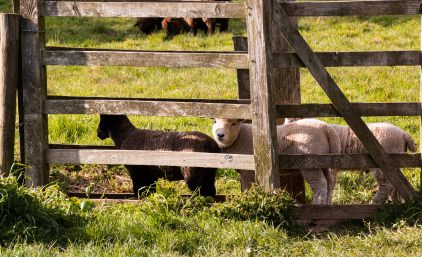 Lambs sheltering in a footpath gate