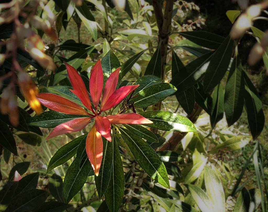 Red hue of new spring leaves on shrub