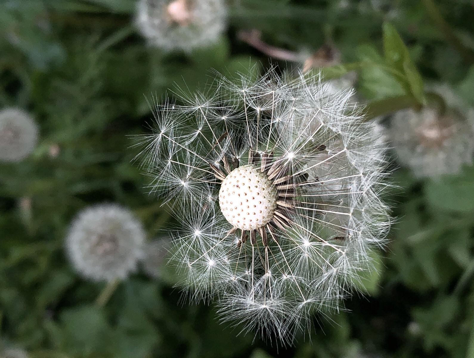 Dandelion white seed head macro