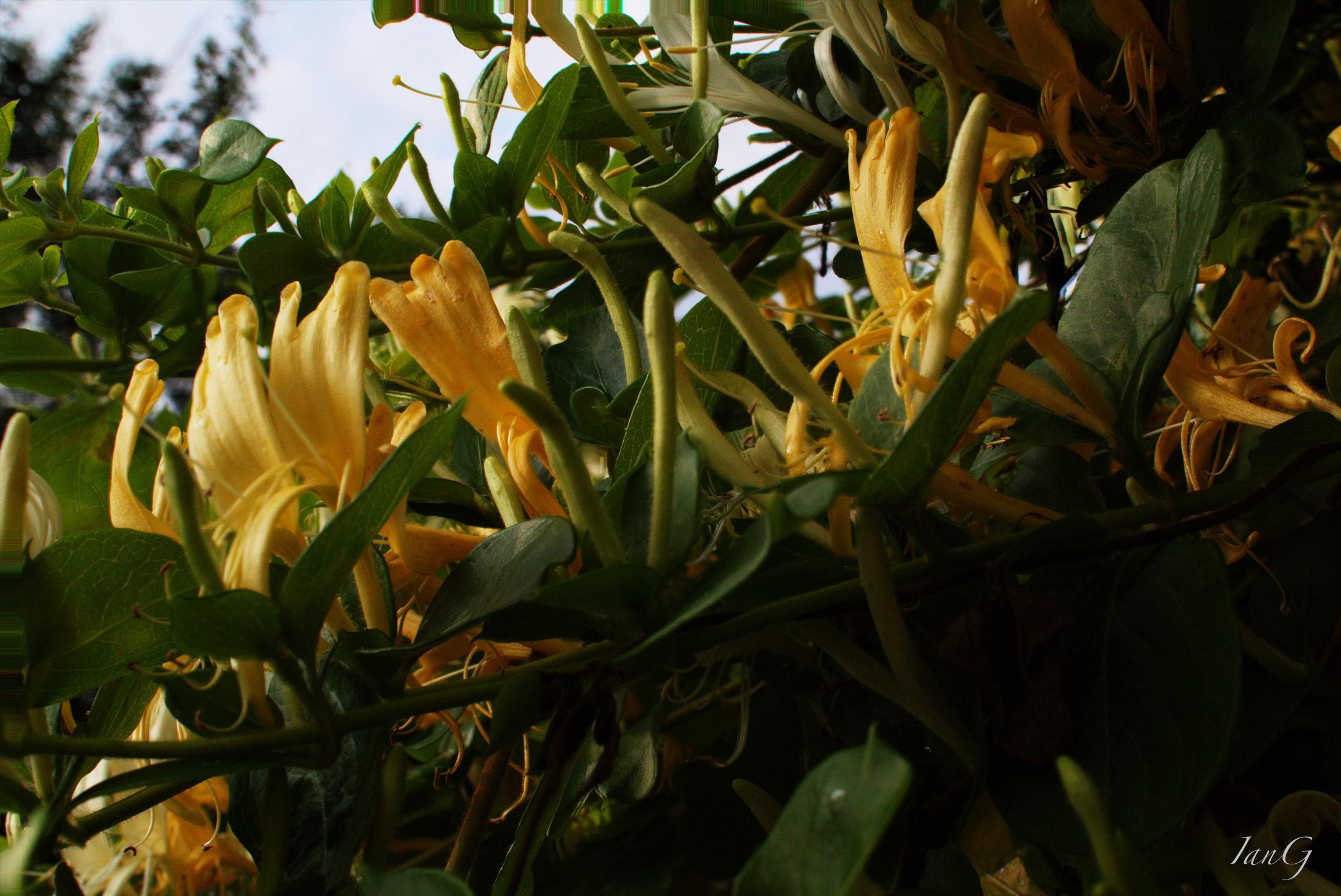 Golden honeysuckle flowers in full bloom