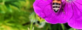 Bee gathering nectar in purple flower